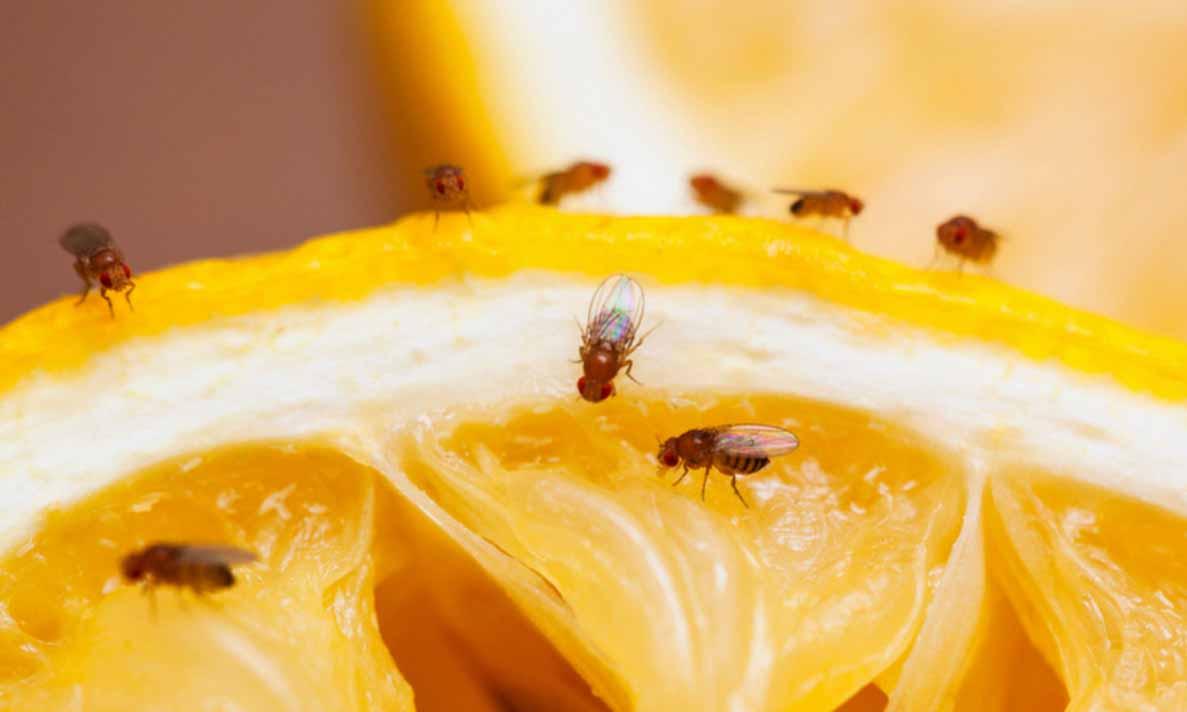 Évitez les mouches à fruits pendant l'été!