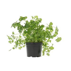 Plantes aromatiques et épices