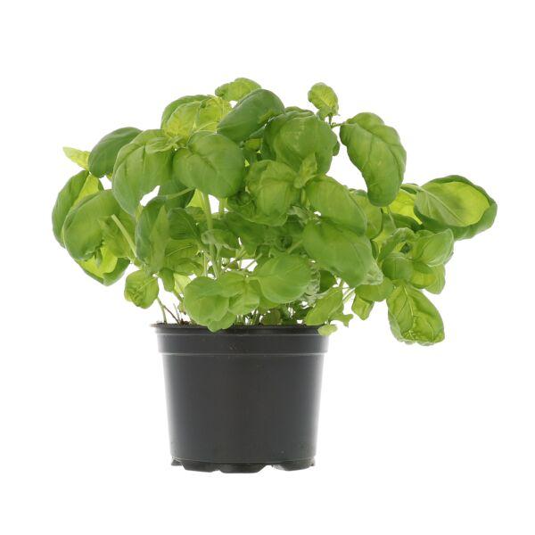 Basilic frais en pot