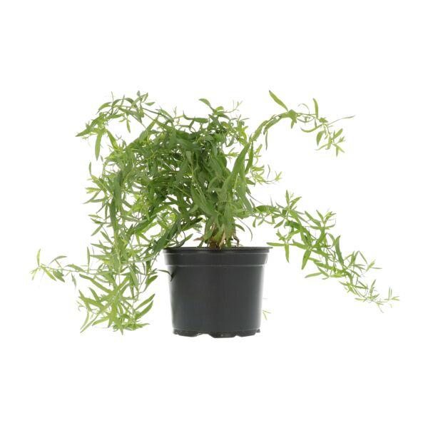Estragon frais en pot